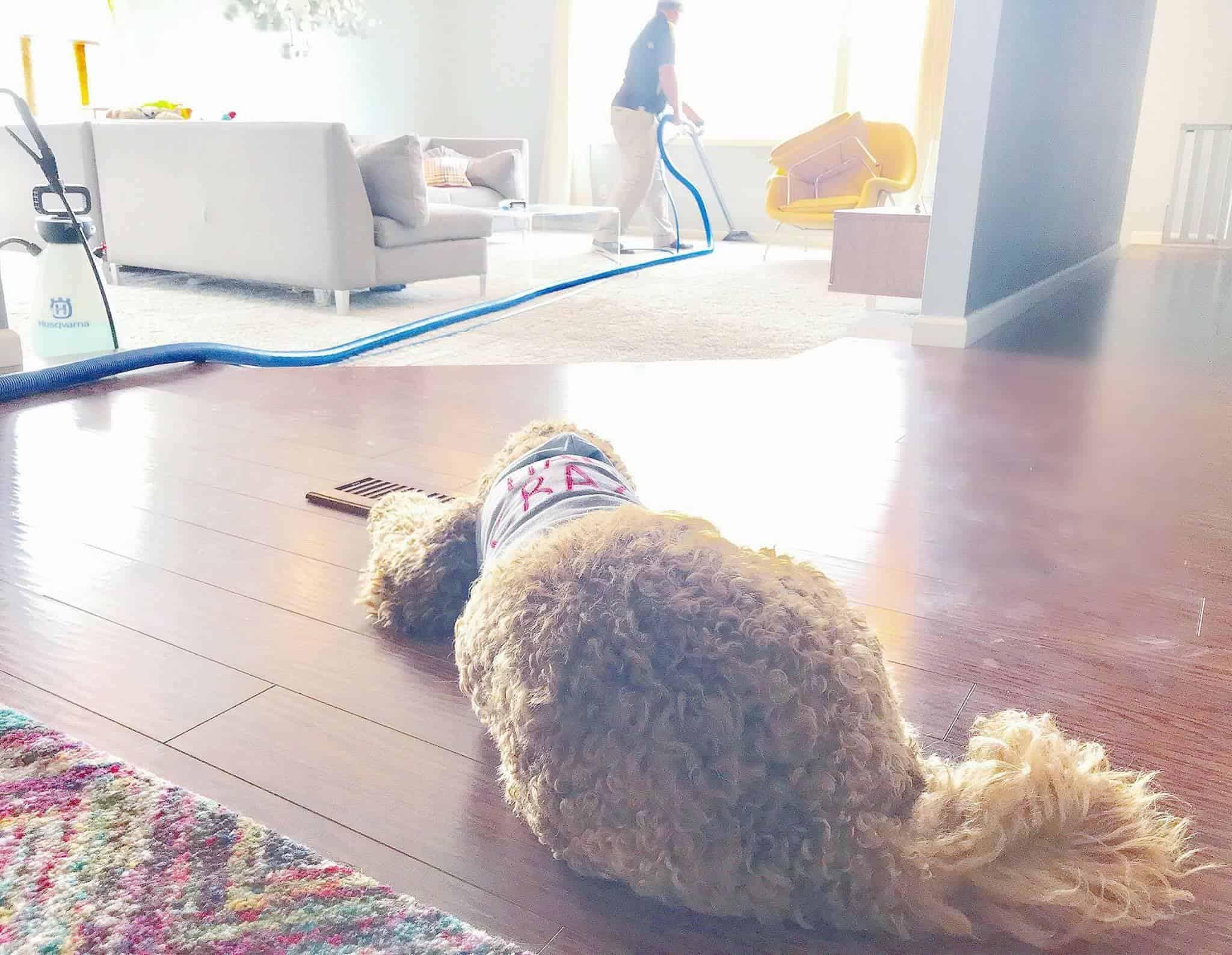 flea infestation carpet cleaning